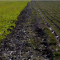 Fight over canola pits biofuels vs. organics