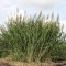 Invasive Grasses as Biofuel? Scientists Protest